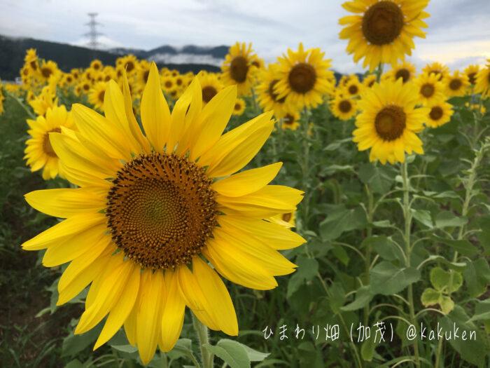 ひまわり畑2021(小浜市加茂)